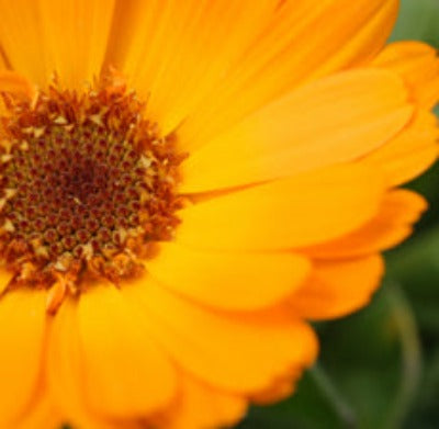 Calendula Herbal Oils - Essentially You Oils - Ottawa Canada