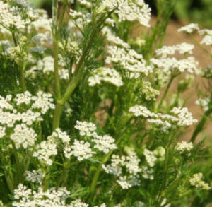 Caraway Essential Oil - Essentially You Oils
