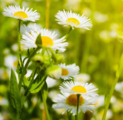 Chamomile Roman Essential Oil - Essentially You Oils