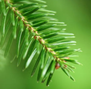 Siberian Fir Needle Essential Oil - Essentially You Oils