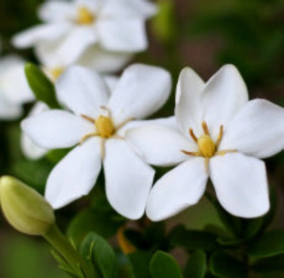 Gardenia Fragrance Oil - Essentially You Oils