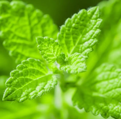 Green Mint Fragrance Oil - Essentially You Oils