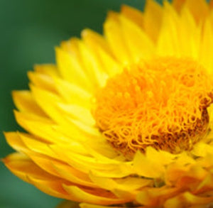Helichrysum Essential Oil - Essentially You Oils