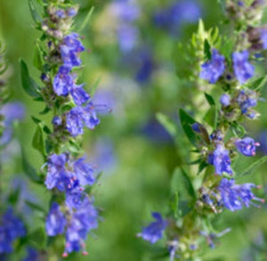 Hyssop Organic Essential Oil - Essentially You Oils