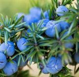 Juniper Berry Essential Oil (India) - Essentially You Oils