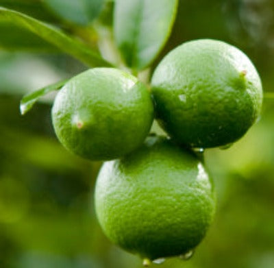 Lime Essential Oil - Key Lime (Peru) - Essentially You Oils
