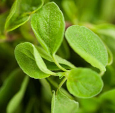 Oregano Organic Essential Oil - Essentially You Oils - Ottawa Ontario Canada