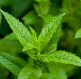 Peppermint (Japanese) Essential Oil - Essentially You Oils - Ottawa Canada
