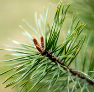 Pine Scotch Essential Oil - Essentially You Oils