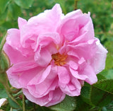 Rose Oil - 3% Dilution Essential Oil - Essentially You Oils
