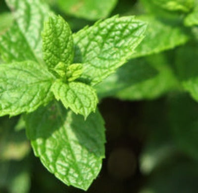 Spearmint Essential Oil - Essentially You Oils