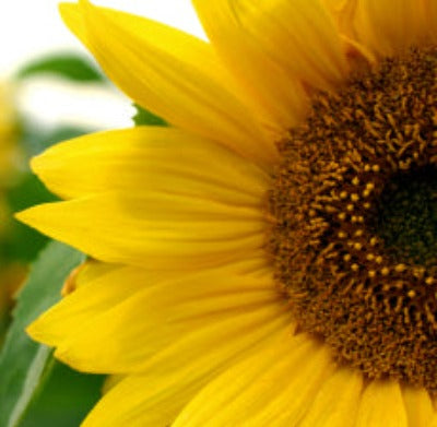 Sunflower Carrier Oil - Essentially You Oils