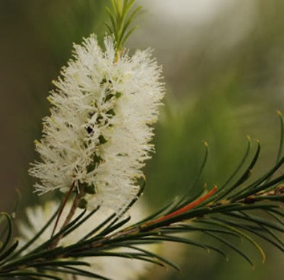 Tea Tree AAA (Australia) Essential Oil - Essentially You Oils