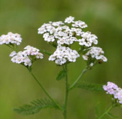 Yarrow Essential Oil - Essentially You Oils