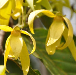 Ylang Ylang Fragrance Oil - Essentially You Oils