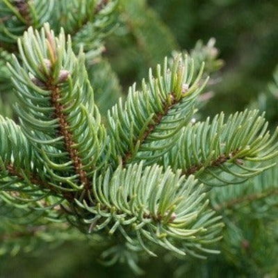 Balsam Fir Essential Oil - Essentially You Oils