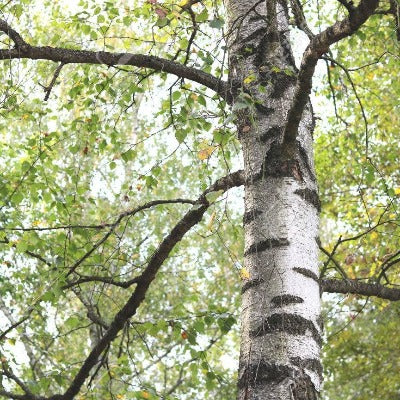 Birch (Sweet) Essential Oil - Essentially You Oils