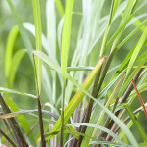 Citronella (Ceylon) Essential Oil - Essentially You Oils
