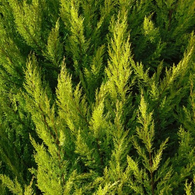 Cypress Organic Essential Oil - Essentially You Oils