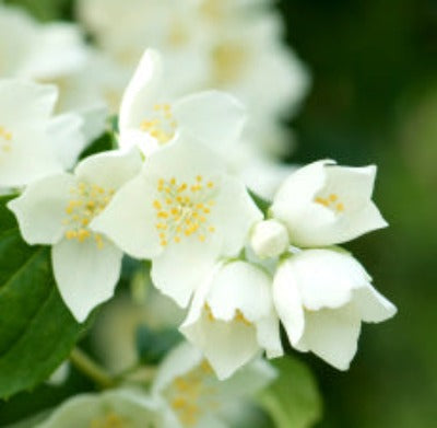 Jasmine Fragrance Oil - Essentially You Oils