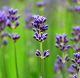 Lavender Essential Oil (40/42) - Essentially You Oils