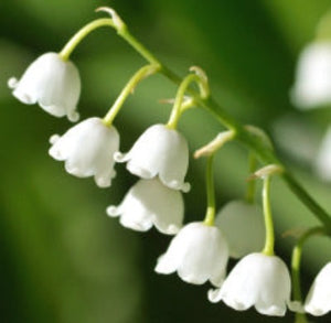Lily of The Valley Fragrance Oil - Essentially You Oils - Ottawa Canada
