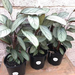 Ctenanthe Grey Star