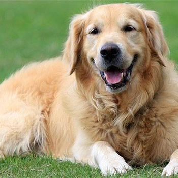 Hundefoder til Golden Retriever