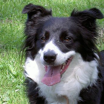 Hundefoder til Border Collie