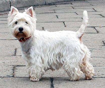 Hundfoder til West Highland White Terrier