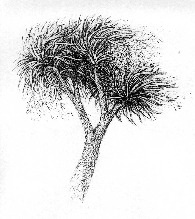 2 Cabbage Tree