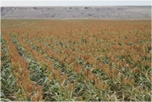 Milo (Wildlife Grain Sorghum)
