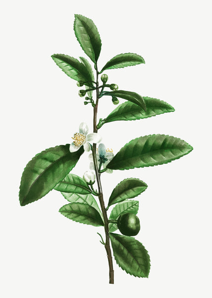 Camellia Sinensis, the Mother Plant