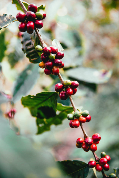coffee beans on branch cherry