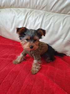 FREDDY THE 4 MONTH OLD YORKSHIRE TERRIER AND XXS SWEATER