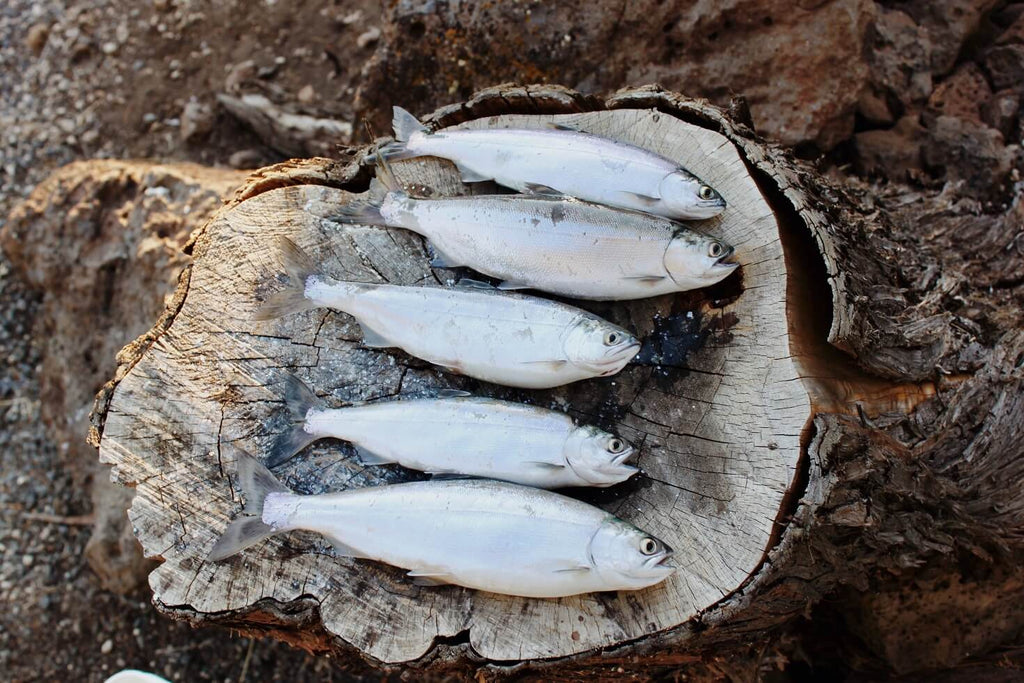 Fish raised for omega-3s on a log outside