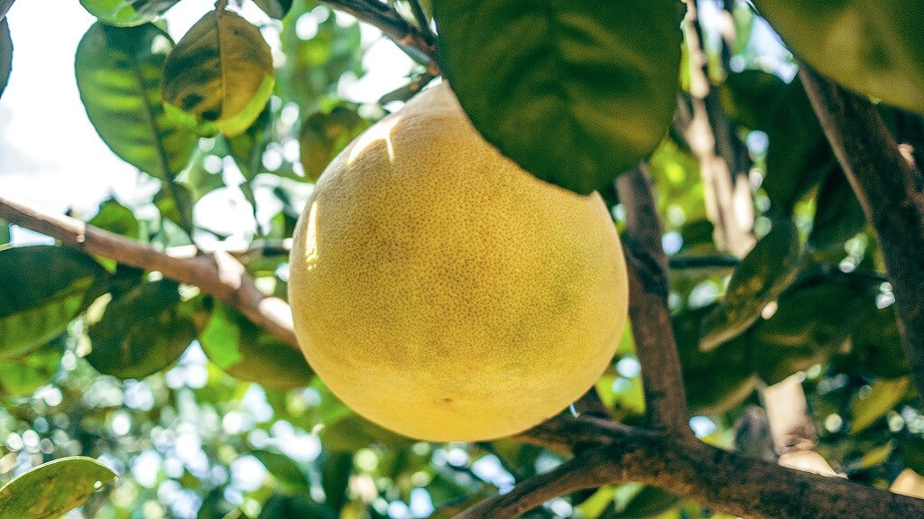 Fruit on a tree with gut-healthy fiber to support the gut-brain connection