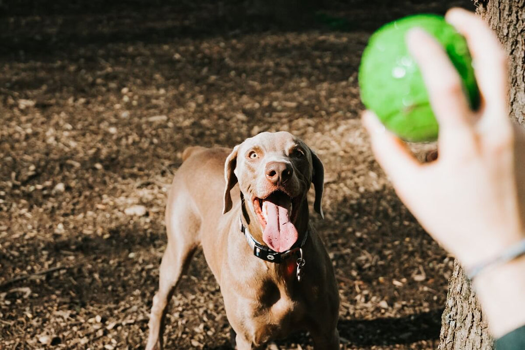 Person holding tennis ball playing with their dog at a park