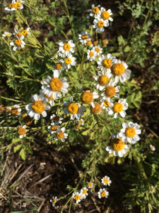 A Look into Feverfew and Migraines