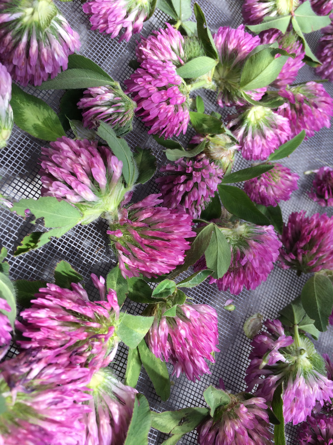 Red Clover blossoms, dried Trifolium pratense, organic