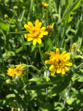 Arnica oil, organic flowers extract
