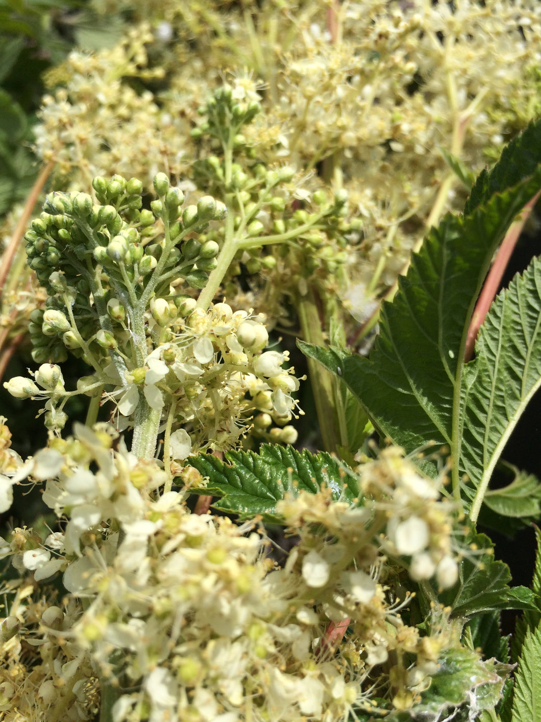 Meadowsweet dried herb, Organic Filipendula ulmaria flowering