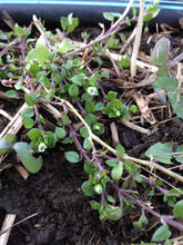 Chickweed, dried organic Stellaria media herb