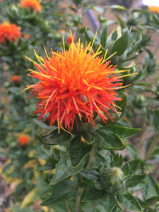 Safflower herb, dried Hong hua organic flower heads