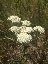 Yarrow Tincture, Achillea millefolium leaf and flower, organic
