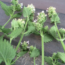 Catnip herb, dried Nepeta cataria, organic