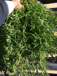 Cleavers herb, dried Galium aparine, organic