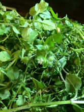 Chickweed Tincture, Stellaria media herb organic