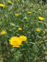 Gumweed flowers, dried Grindelia blooms organic