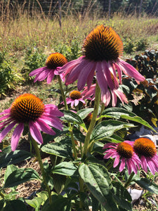Immune Support, Herbal tincture blend for a healthy immune system with organic Echinacea and Spilanthes